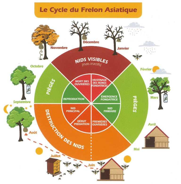 cycle du frelon asiatique