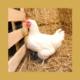 operation poules gatinaises SIREDOM 2019